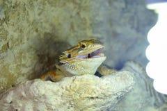 Hatchlings-bärtiges Dickzungeneidechse Pogona-barbata aalende Lampe lizenzfreie stockfotos