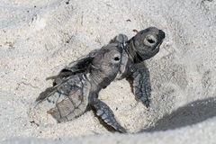 Hatchlings on the beach Bonaire. Two hatchlings going into the ocean Bonaire Klein Bonaire stock photo