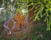 Hatchlings che elemosinano l'alimento fotografia stock