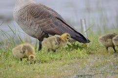 Hatchlings d'oie de Canada de bébé, la Géorgie, Etats-Unis Image stock