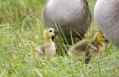 Hatchlings d'oie de Canada de bébé, la Géorgie, Etats-Unis Photo stock