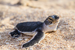 Hatchlings da tartaruga verde Fotos de Stock Royalty Free