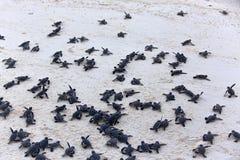 Hatchlings de la tortuga Fotos de archivo