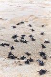 Hatchlings de la tortuga Imagenes de archivo