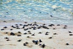 Hatchlings de la tortuga Imagen de archivo libre de regalías