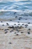 Hatchlings de la tortuga Imagen de archivo