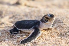 Hatchlings de la tortuga verde Fotos de archivo libres de regalías