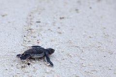 Hatchlings de tortue verte Photos stock