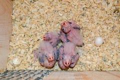 Hatchlings del Cockatiel Fotografia Stock