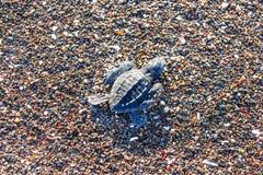 Hatchlings för sköldpadda Ridley för grönt hav på Playa Ostional, Costa Rica Arkivbilder