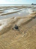 Hatchlings Groene zeeschildpadden op het strand royalty-vrije stock foto