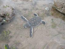 Hatchlings Groene zeeschildpadden op het strand royalty-vrije stock afbeeldingen