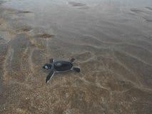 Hatchlings Groene zeeschildpadden op het strand stock afbeelding