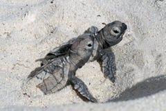 Hatchlings op het strand Bonaire stock foto