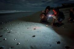 Hatchlings som jäktar till bevattna under olivgrön ridleyhavssköldpadda, frigör på strand i Nicaragua. Royaltyfri Fotografi