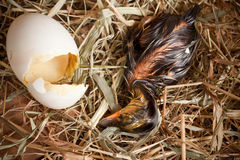 Hatchlingsnahaufnahme stockfoto
