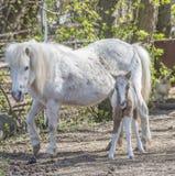 Hatchlingspony mit seiner Mutter auf dem Bauernhof Stockfoto
