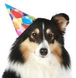 hattdeltagaresheepdog shetland arkivfoton