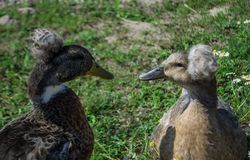 Hatted ducks Royalty Free Stock Images
