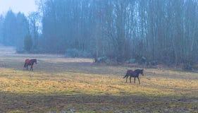 Hatuna, Schweden - 1. April 2017: Pferde nahe Haggeby, Schweden Lizenzfreie Stockbilder