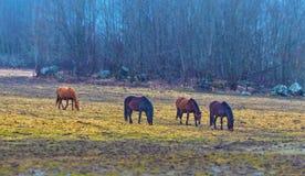Hatuna, Schweden - 1. April 2017: Pferde nahe Haggeby, Schweden Stockfoto