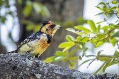 Haubenbartvogel in Nationalpark Kruger, Südafrika stockfotografie