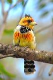 Haubenbartvogel oder Lavaillants-Barbet stockfotos