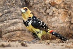 Haubenbartvogel - Okavango-Delta - Moremi N P lizenzfreie stockfotos