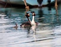 Haubentaucher, waterbird Podiceps cristatus Lizenzfreies Stockfoto