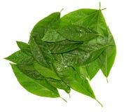 Haufen von den nass Blättern des Avocadogrüns lokalisiert über Weiß stockfotografie