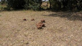 Haufen von Elefant-Rückständen, Mist und Sänfte Organisches Düngemittel 4K stock footage