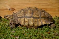 Hauge land turtle or tortoise Royalty Free Stock Image