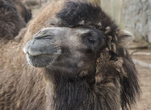 Haughty Camel Stock Photography