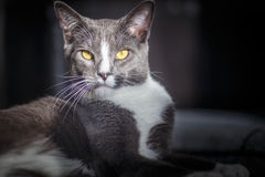 Haughty cat in the spotlight Royalty Free Stock Image