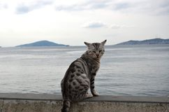 Haughty gray cat standing in front of the islands. Haughty gray cat stopped in front of the island, gave a very nice pose and waited until you press the shutter Stock Image