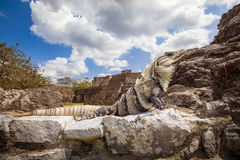 Haughty Iguana Posing in front of Ek-Balam Mayan Temple Stock Images