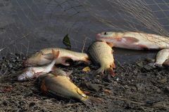 Haul of carp fishes Royalty Free Stock Photos