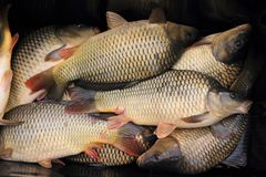 Haul of carp fishes Stock Image