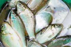 Haul of small freshwater fishes in green bucket Royalty Free Stock Photos