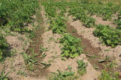 Haulm. Close-up beds with growing potatoes on them after watering Stock Image