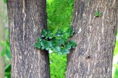 Haulm e folha, erva do fruto tailandês comestível do fruto de madeira-Apple do asiaHerb Makwid do subcontinente, Limonia, Curd Fr Foto de Stock