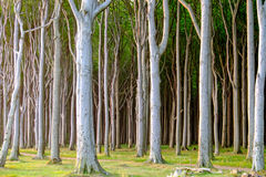 Haunted beech tree forest Stock Photography