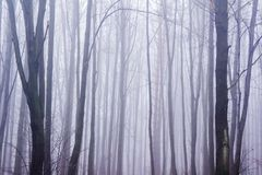Haunted foggy forest. Haunted forest full of trees and branches covered by a fog in late autumn Stock Photo
