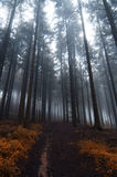 Haunted forest. Image of the conifer forest early in the morning - early morning fog Royalty Free Stock Photos