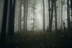 Haunted forest with fog on Halloween evening Stock Images