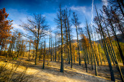 Haunted Forest after Wildfire Stock Image