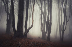 Haunted Halloween forest with fog Royalty Free Stock Image