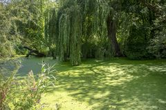 Haunted pond with algae and weeping willow. Enchanted pond with algae deposit and weeping willow in sunlight stock photo