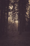 Haunting Forest Royalty Free Stock Images