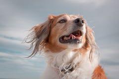 Haupt- und Schulterporträtaufnahme der roten behaarten Collieart Hund gegen bewölkten Himmel Lizenzfreies Stockfoto